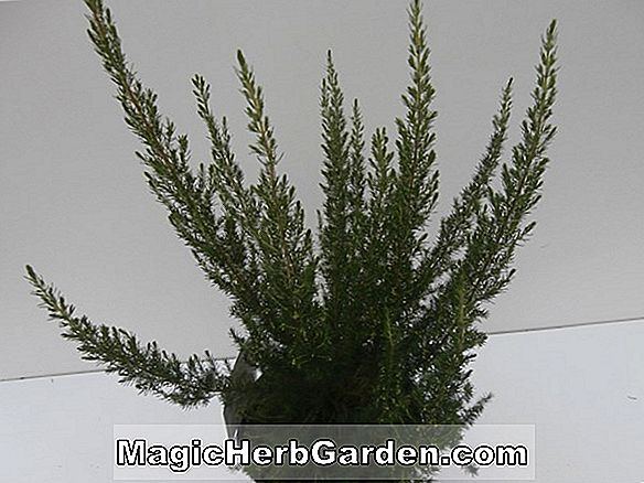 Planter: Erica lusitanica (Heather)