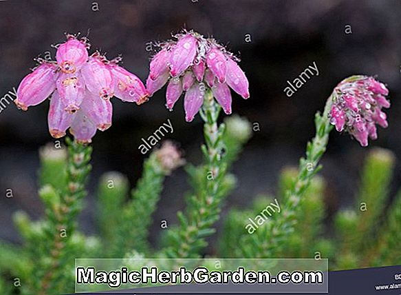 Erica mammosa (Heather)