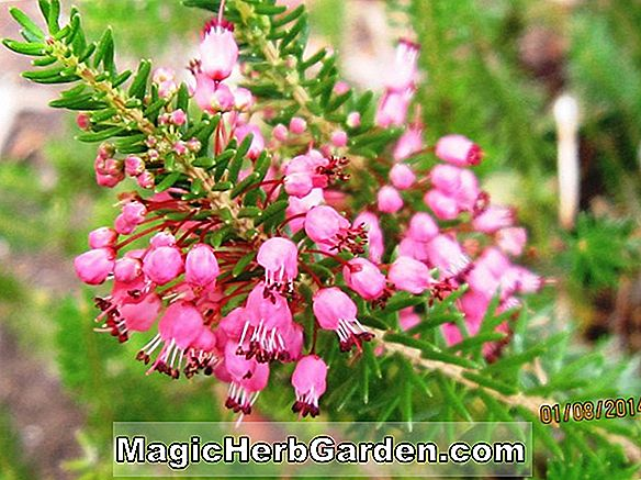 Erica vagans (Fransk Hvid Cornish Heath)