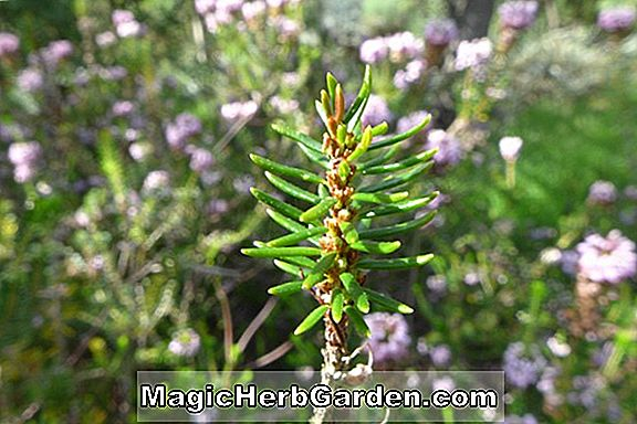 Erica vagans (Mrs. D. F. Maxwell Cornish Heath)