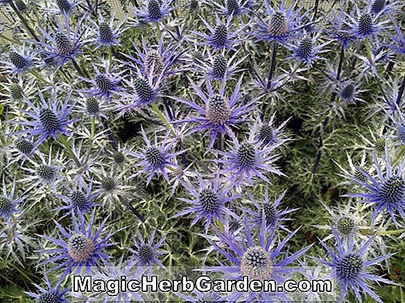 Planter: Eryngium planum (Flat Sea Holly)