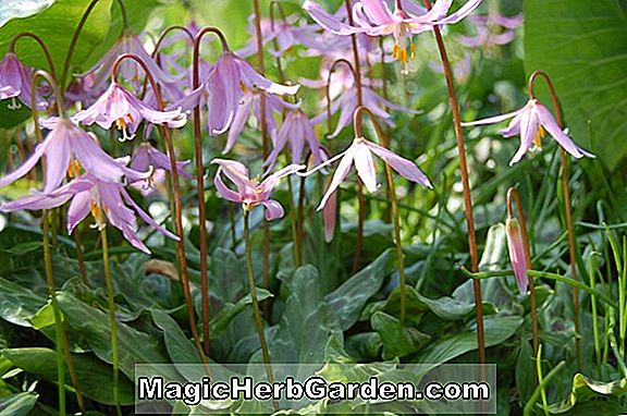 Erythronium dens-canis (Pink Perfection European Dog's-Tooth Violet)