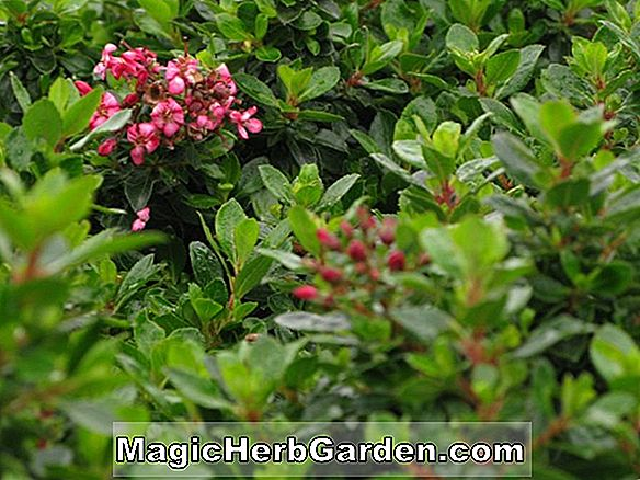 Escallonia (Newport Dwarf Escallonia)
