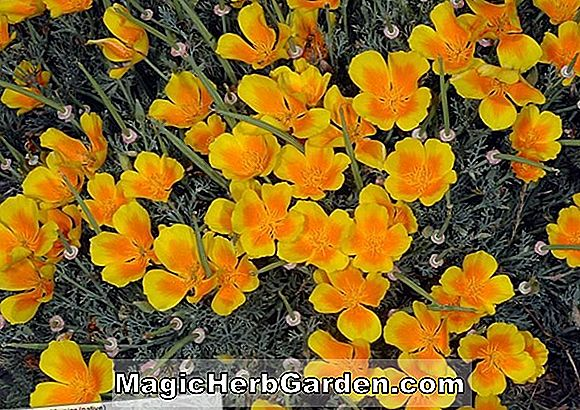 Planter: Eschscholzia californica (Chrome Queen Poppy)