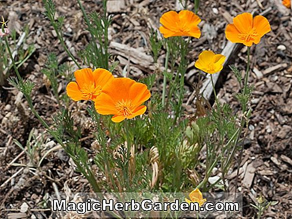 Planter: Eschscholzia californica (Dali Poppy)