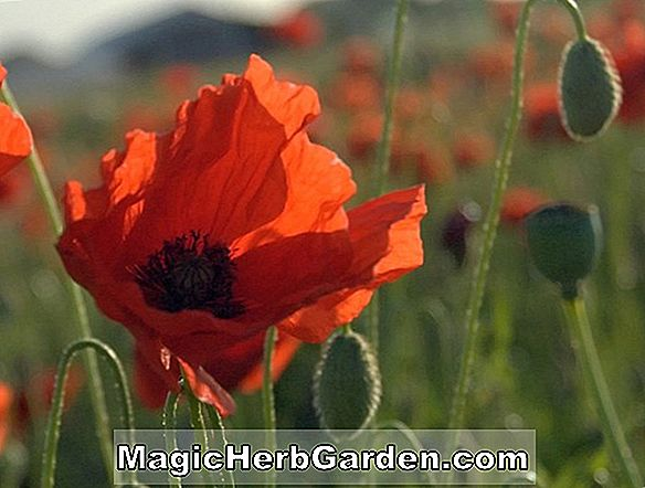 Planter: Eschscholzia californica (Mission Bells Mix California Poppy)