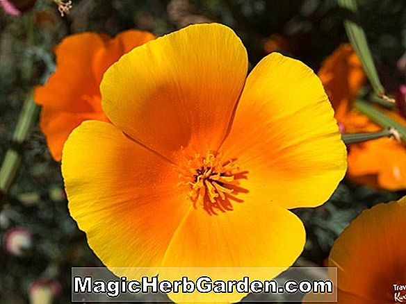 Planter: Eschscholzia californica (Milky-White California Poppy)