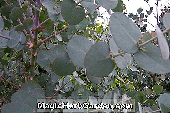 Eucalyptus pulverulenta (Silver-Leaved Mountain Gum) - #2