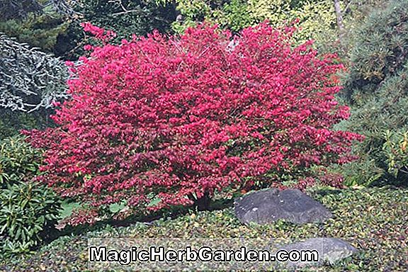 Planter: Euonymus alatus (Burning Bush)