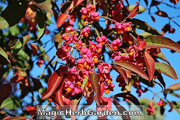 Euonymus europaeus (Red Cascade Spindle Tree) - #2