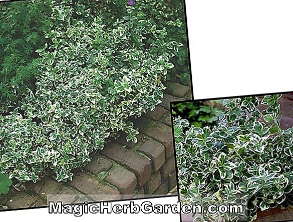 Euonymus fortunei (Purple Leaf Winter Creeper) - #2
