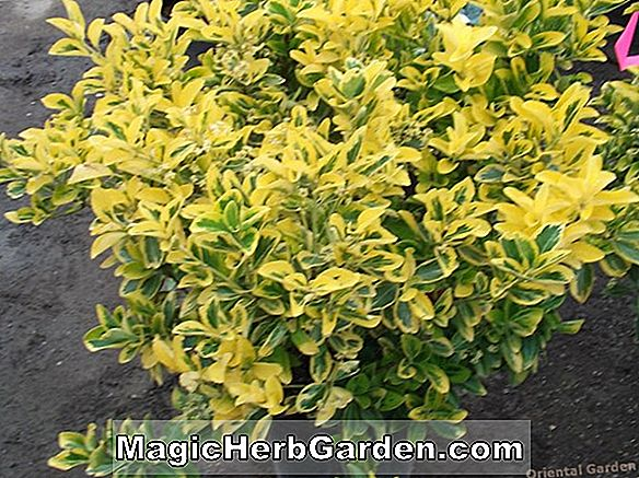 Euonymus japonica (Giltedge Spindle Tree) - #2
