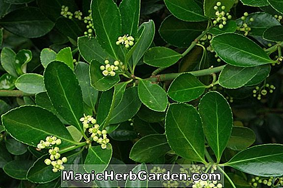 Euonymus japonica (Giltedge Spindle Tree)
