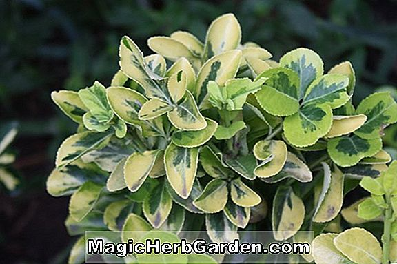 Pflanzen: Euonymus japonica (Gold Center Spindle Tree)