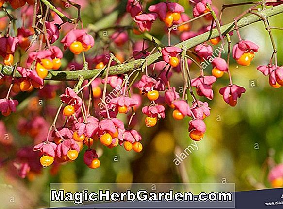 Euonymus (Spindel Tree)