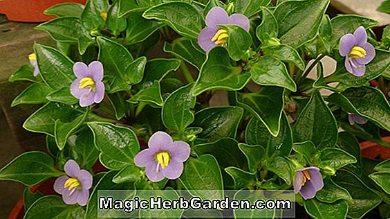 Planter: Exacum affine (Persian Violet)