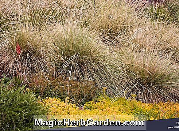 Planter: Festuca mairei (Atlas Fescue)