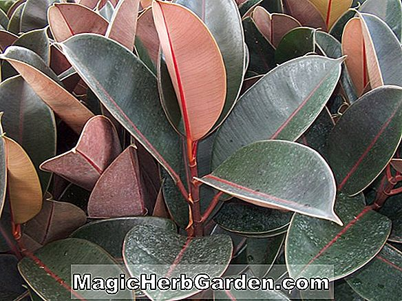 Ficus elastica (Burgundy Rubber Tree) - #2