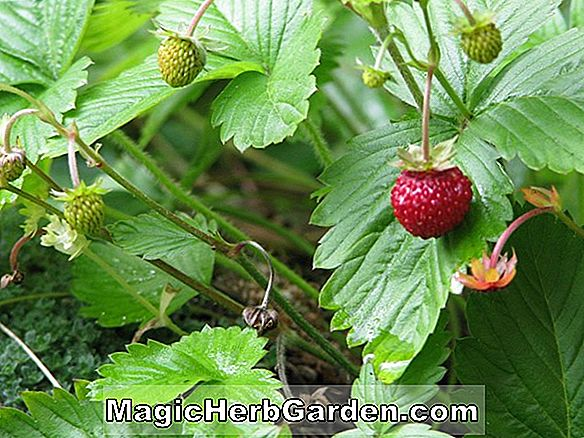 Fragaria (Puget Beauty Strawberry)