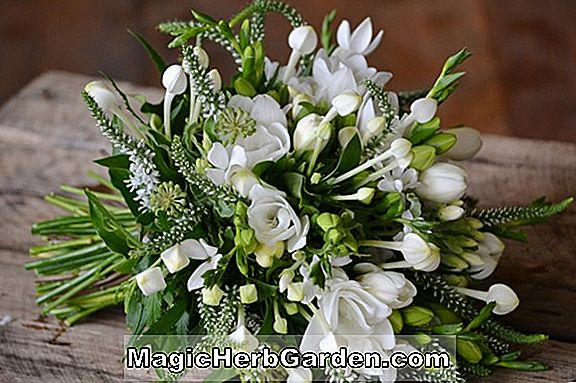 Freesia (Snow Queen Freesia)