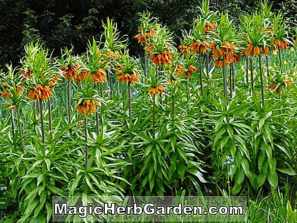 Fritillaria imperialis (The Premier)