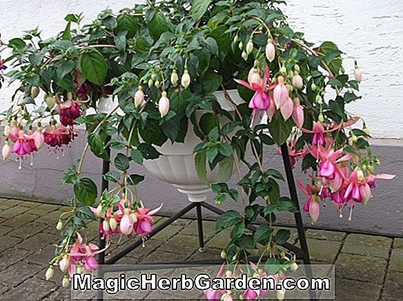 Fuchsia (Joan Of Arc Fuchsia) - #2