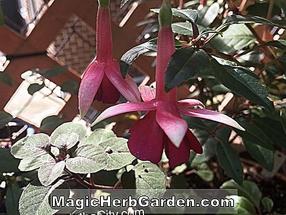 Planter: Fuchsia (Fan Dancer Fuchsia) - #2