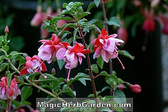 Fuchsia (Gordon Potton Fuchsia) - #2