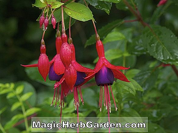 Planter: Fuchsia (Hugh Morgan Fuchsia) - #2