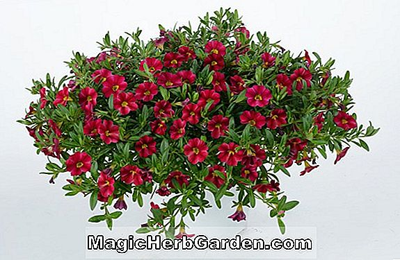 Planter: Fuchsia (Guiding Star Fuchsia)