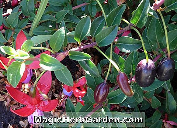 Planter: Fuchsia (Harry Hotspur Fuchsia) - #2