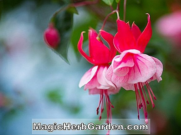 Planter: Fuchsia (James Travis Fuchsia)