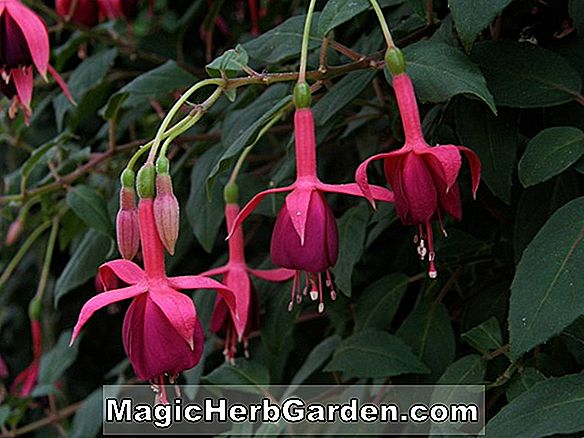 Planter: Fuchsia (James Sharon Fuchsia)