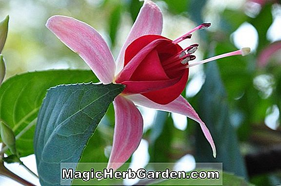 Planter: Fuchsia (Lovely Lady Fuchsia) - #2