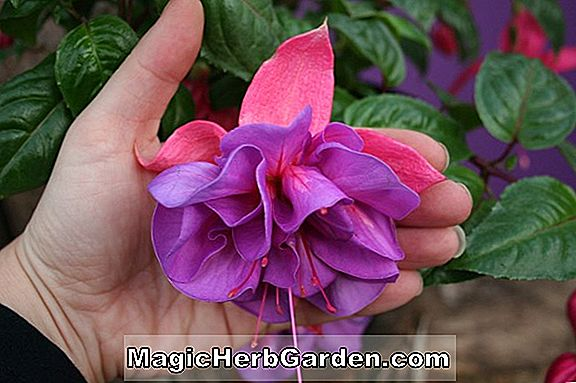 Planter: Fuchsia (Mauve Beauty Fuchsia) - #2