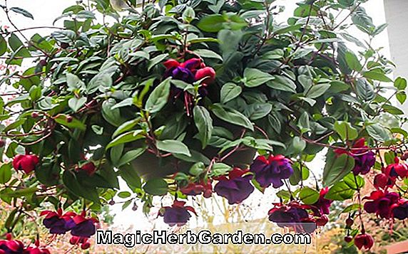 Fuchsia (Beauty of Cliff Hall Fuchsia) - #2