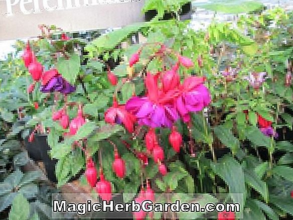 Planter: Fuchsia (Othello Fuchsia) - #2