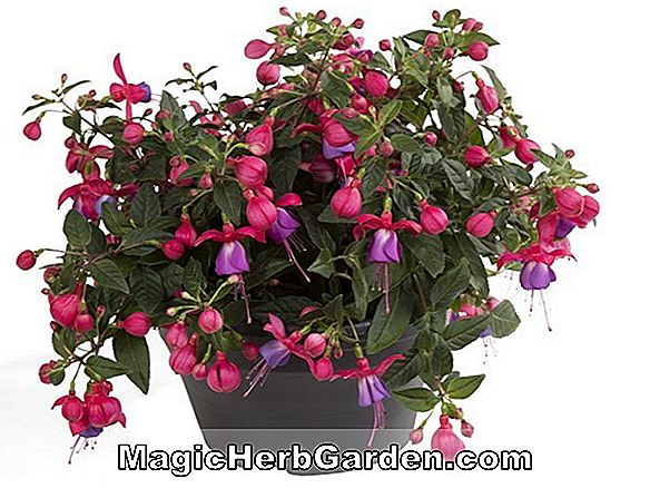 Fuchsia (Purple Night Fuchsia) - #2