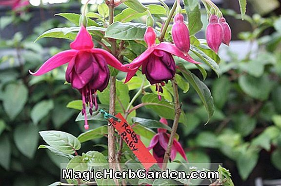 Planter: Fuchsia (Rough Silk Fuchsia)