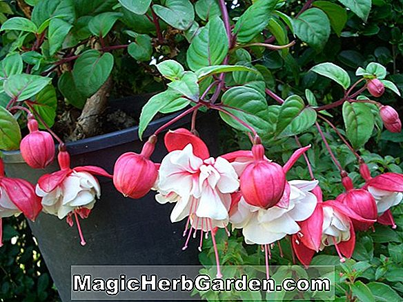 Fuchsia (South Gate Fuchsia) - #2