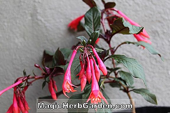 Planter: Fuchsia (The Aristocrat Fuchsia)