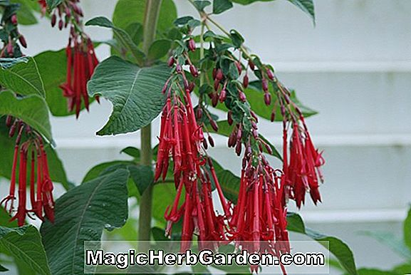 Planter: Fuchsia (White Galore Fuchsia)