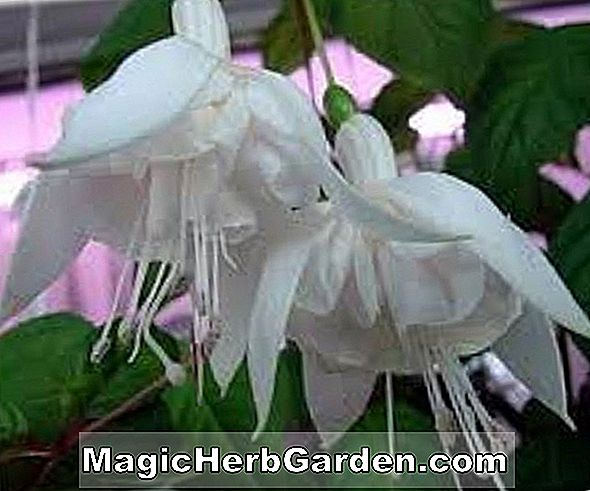 Planter: Fuchsia (White King Fuchsia)