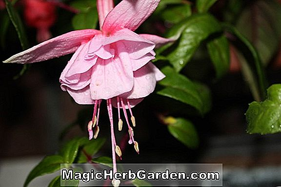 Planter: Fuchsia (British Sterling Fuchsia) - #2