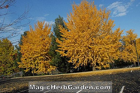 Planter: Ginkgo biloba (Maidenhair Tree)