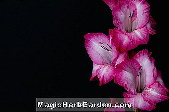 Planter: Gladiolus (Cover Girl Gladiolus)