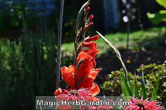 Gladiolus (Ice Follies Gladiolus)
