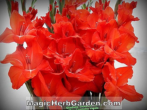 Gladiolus (The Bride Gladiolus)