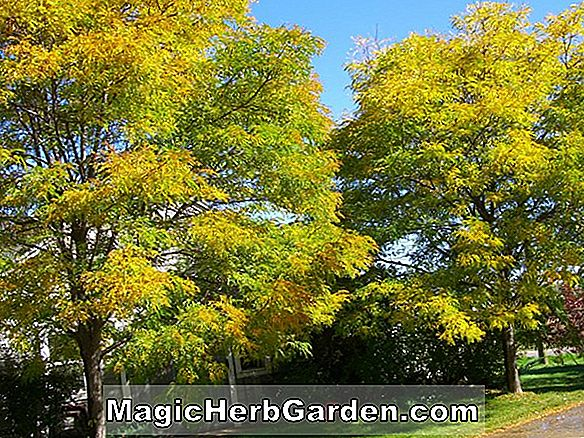 Gleditsia triacanthos (Shademaster Honey Locust)