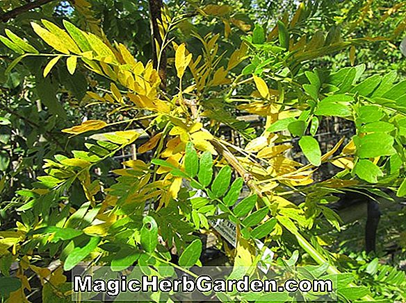 Planter: Gleditsia triacanthos (Sunburst Honey Locust)